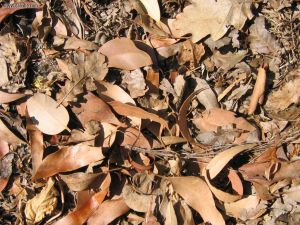 Dry Leaves for Composting