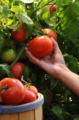Burpee-Tomato-Harvest