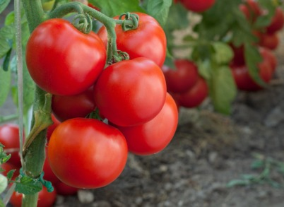 organic-tomatoes-more-healthy-text01